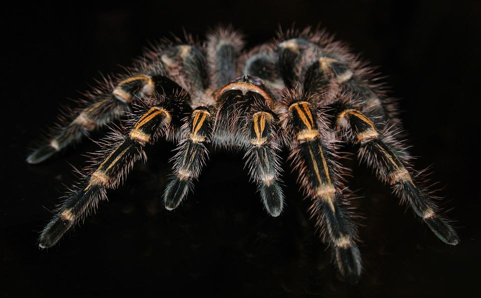tarantulas veneno dolor