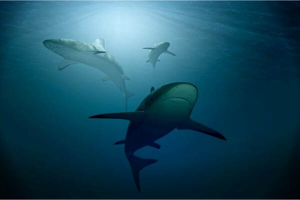 tiburones nadando